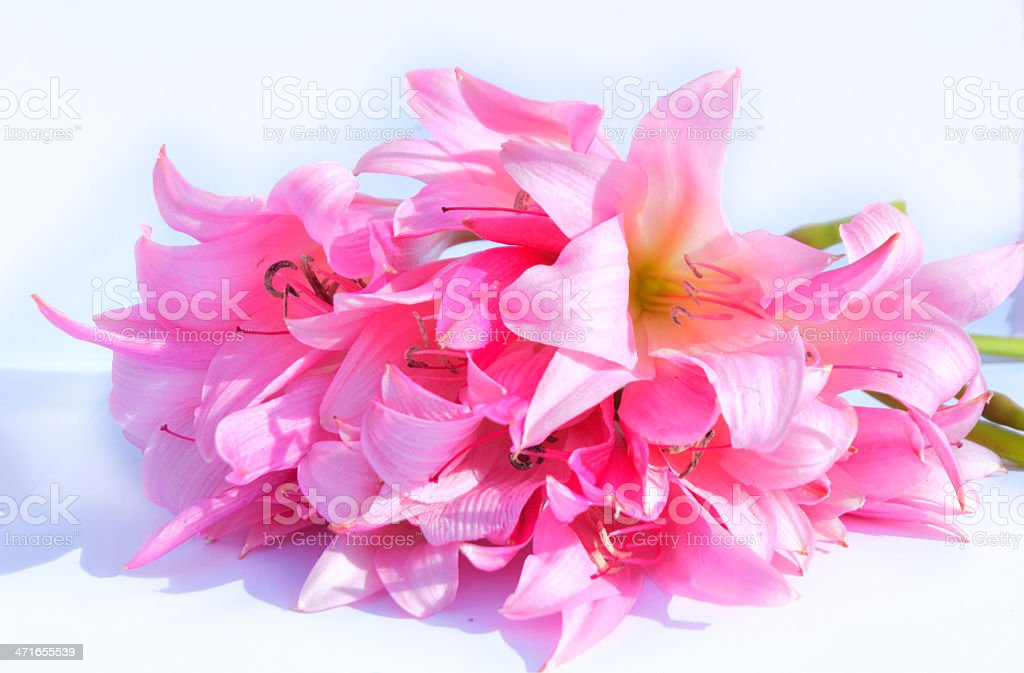Pink royalty-free stock photo