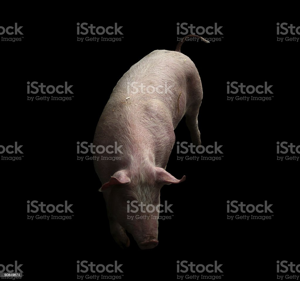 A pink pig isolated on a black background royalty-free stock photo
