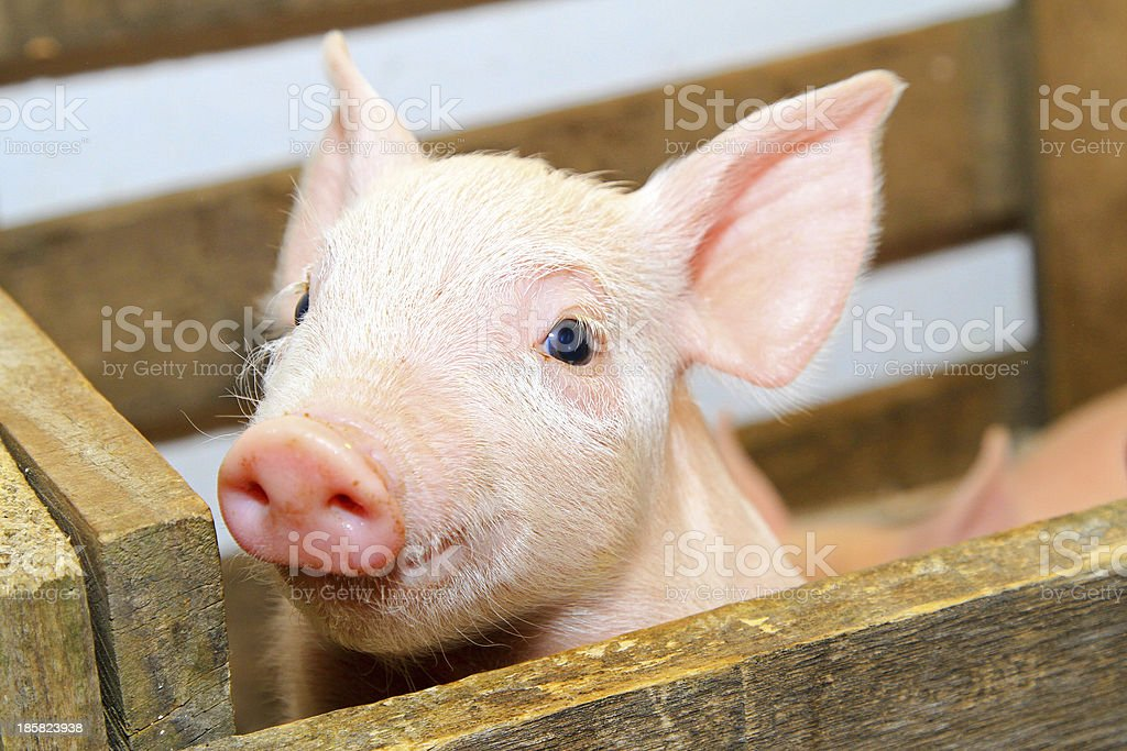 Pink pig stock photo