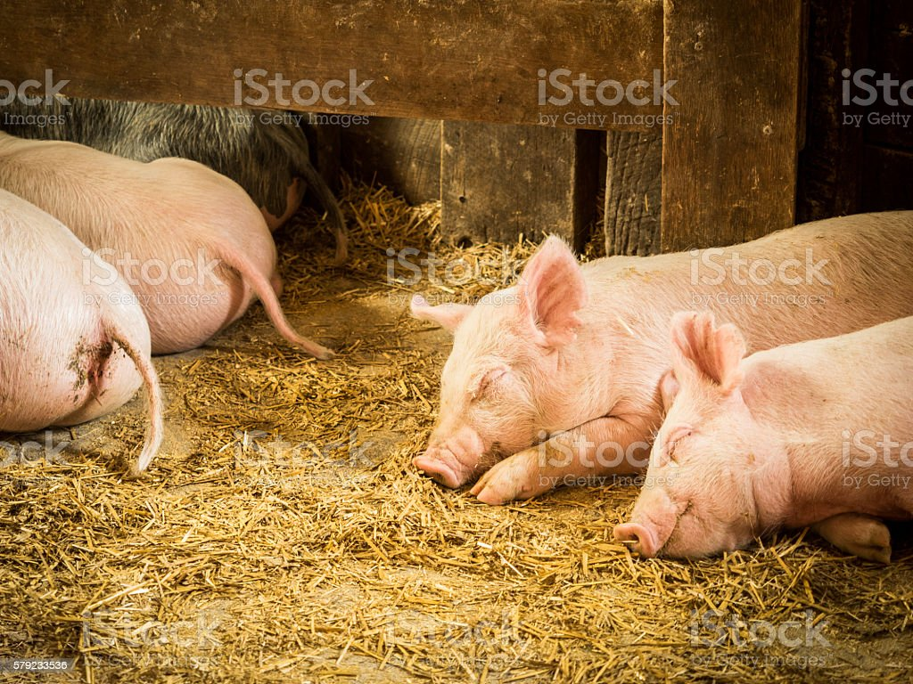 Pink Piglets Asleep in Straw stock photo