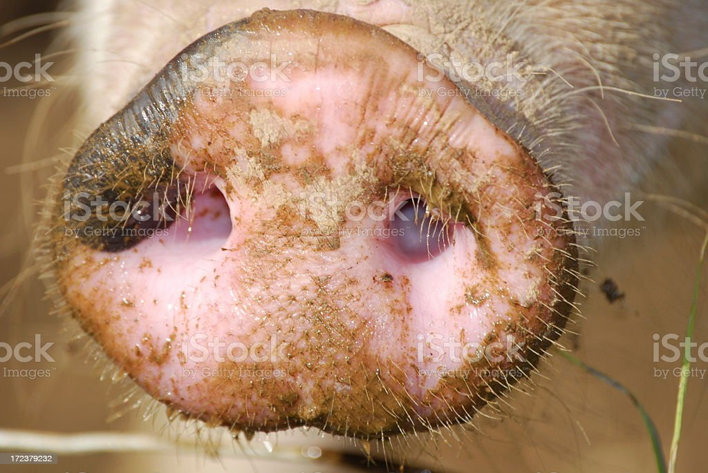 Pink pigs nose stock photo