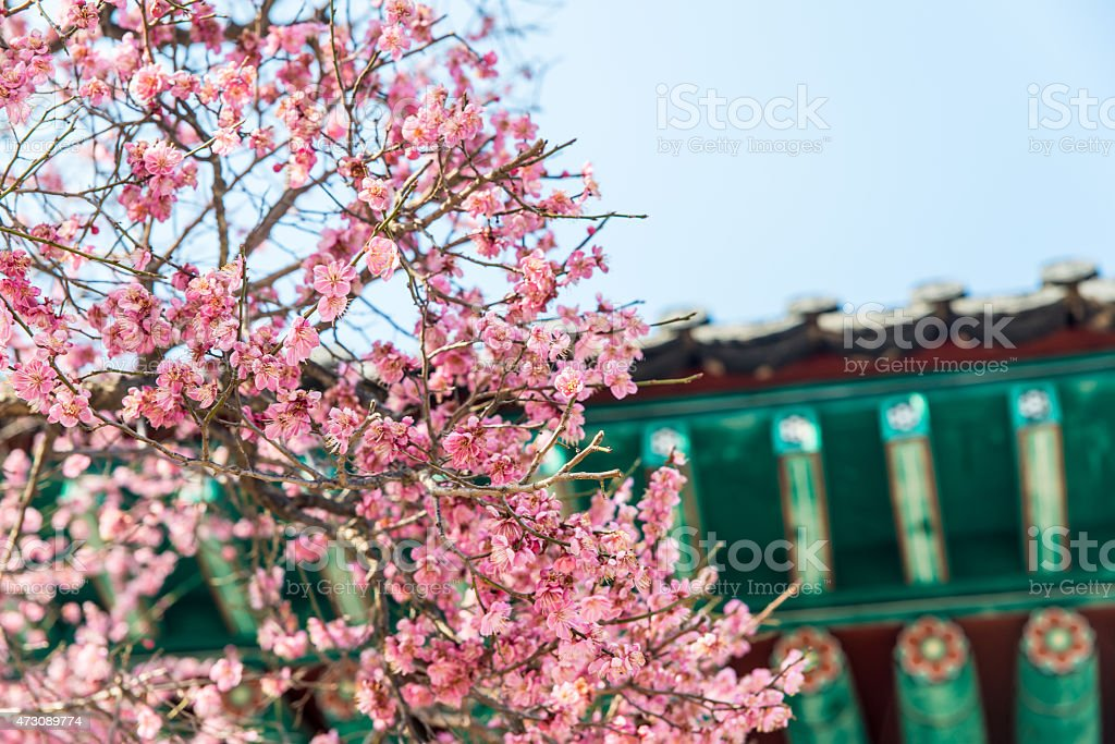 Różowy Kwiat śliwy zbiór zdjęć royalty-free