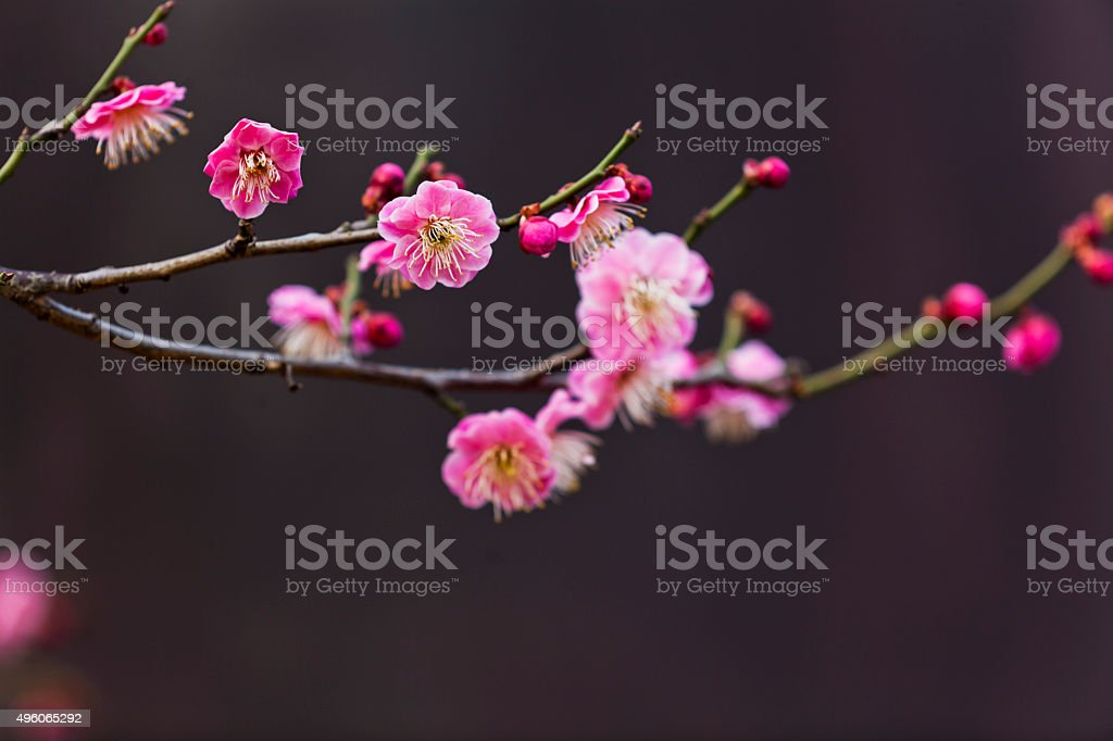 Pink Plum Blossoms against Dark Background stock photo
