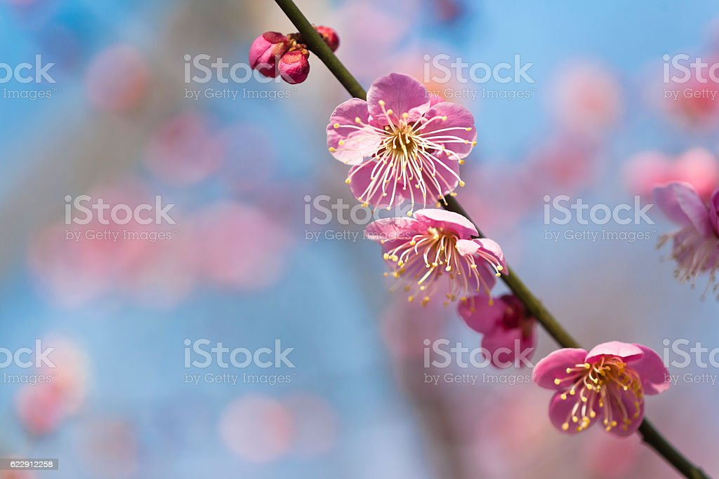 Pink Plum Blossoms Close Up stock photo
