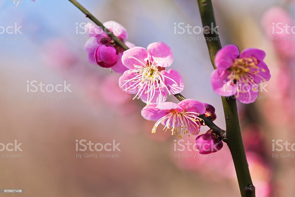 Pink Plum Blossoms in Japan stock photo