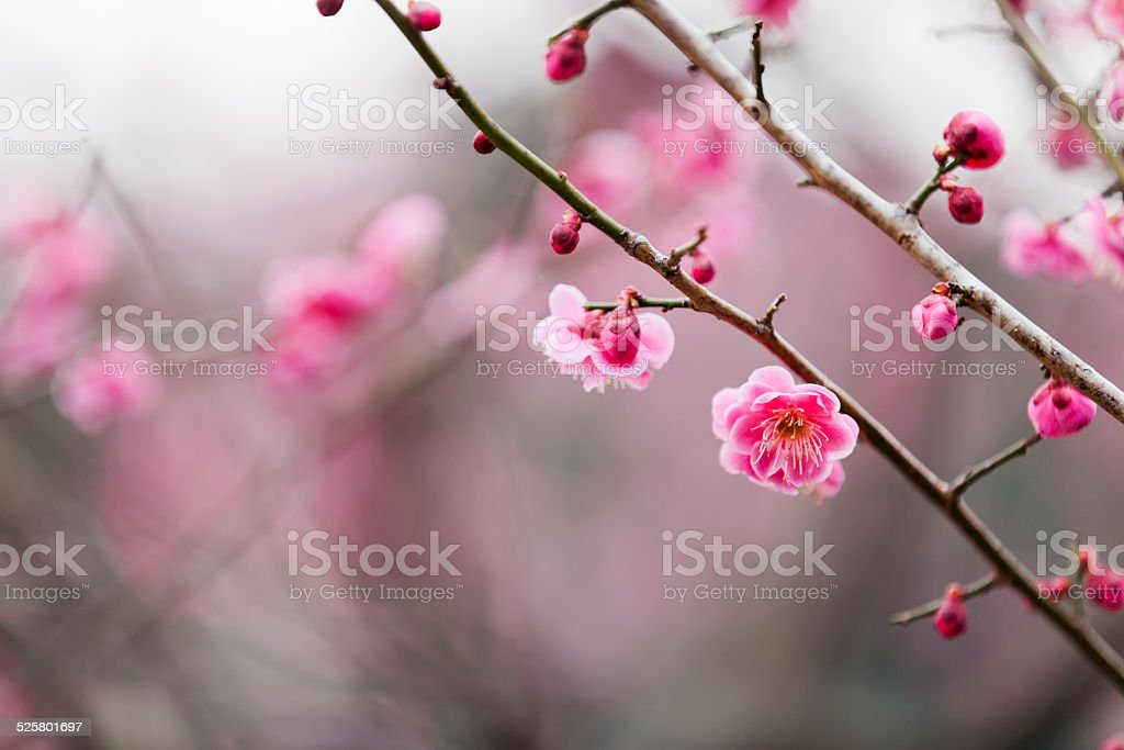 Pink Plum Blossoms in Spring stock photo