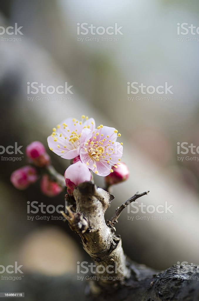 Pink plum blossoms. royalty-free stock photo