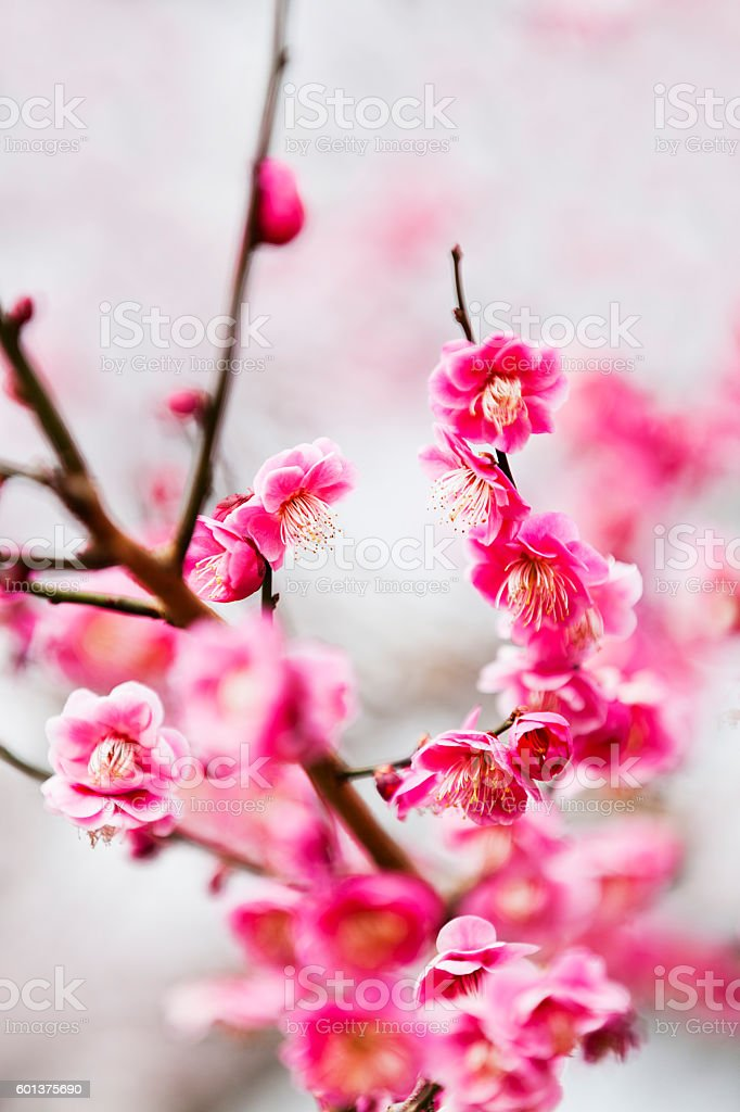 Pink Plum Blossoms stock photo