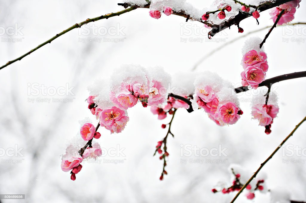 Pink Plum Flower under Snow stock photo