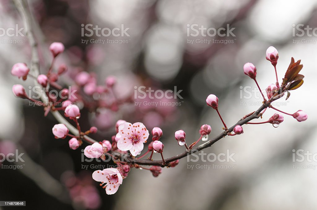 Pink Plum Tree Blossom with Rain Drops in Spring stock photo