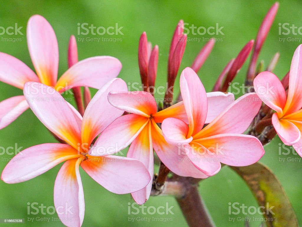 pink Plumeria blossoms stock photo