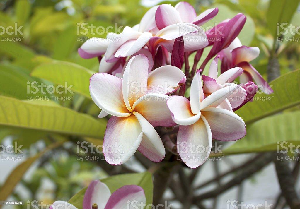Pink Plumeria Flower royalty-free stock photo