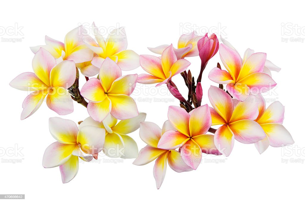 Pink plumeria flowers isolated on white background, Soft focus royalty-free stock photo