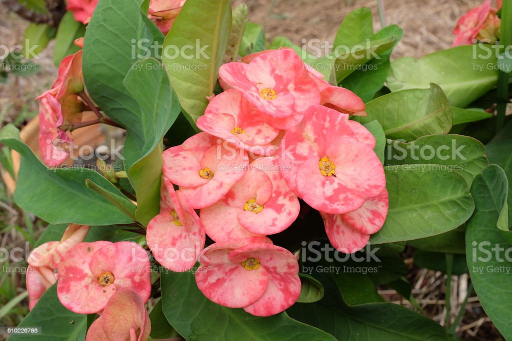 Pink Poi Sian flowers blooming stock photo