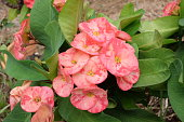 Pink Poi Sian flowers blooming