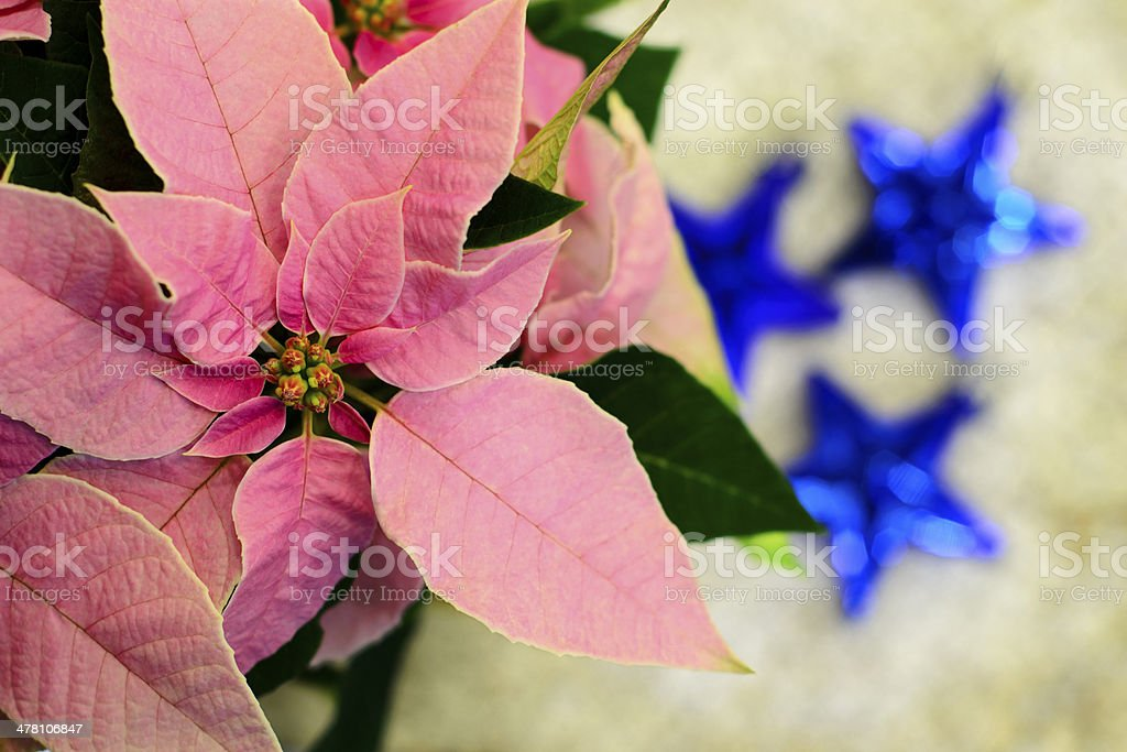 Pink poinsettia Christmas star flower, three blue Xmas ornaments. royalty-free stock photo