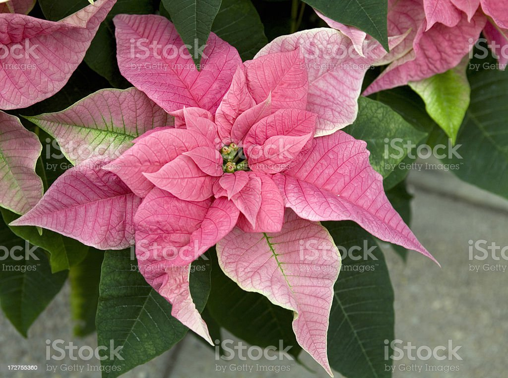 Pink Poinsettias Christmas Flowers royalty-free stock photo
