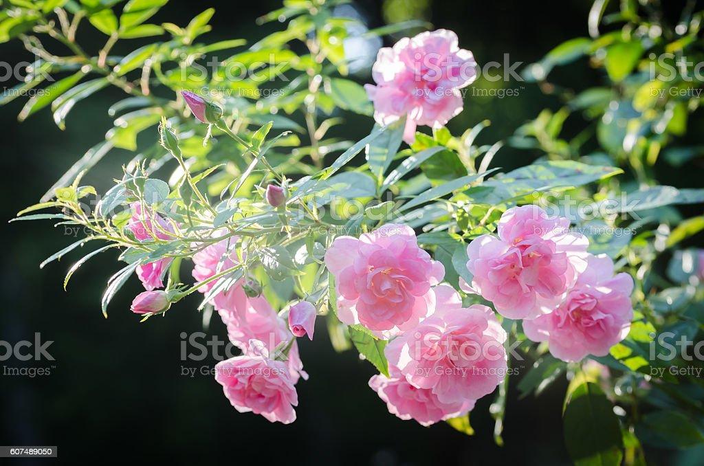 Pink Polyantha 'Thornless' Rose - China Doll stock photo