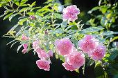 Pink Polyantha 'Thornless' Rose - China Doll