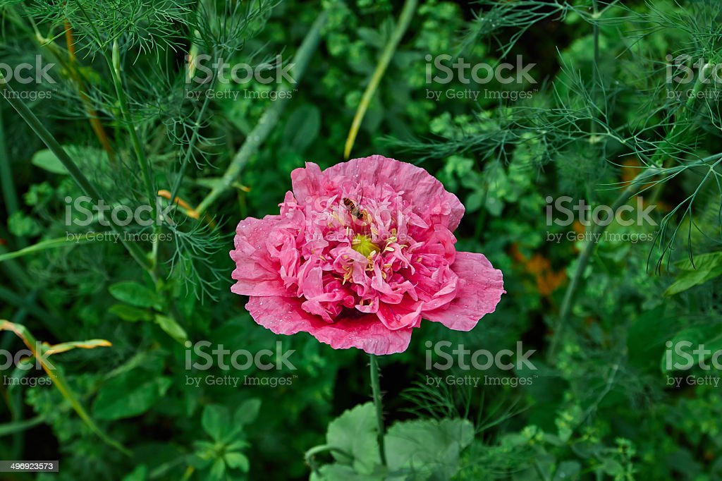 pink poppy flower royalty-free stock photo