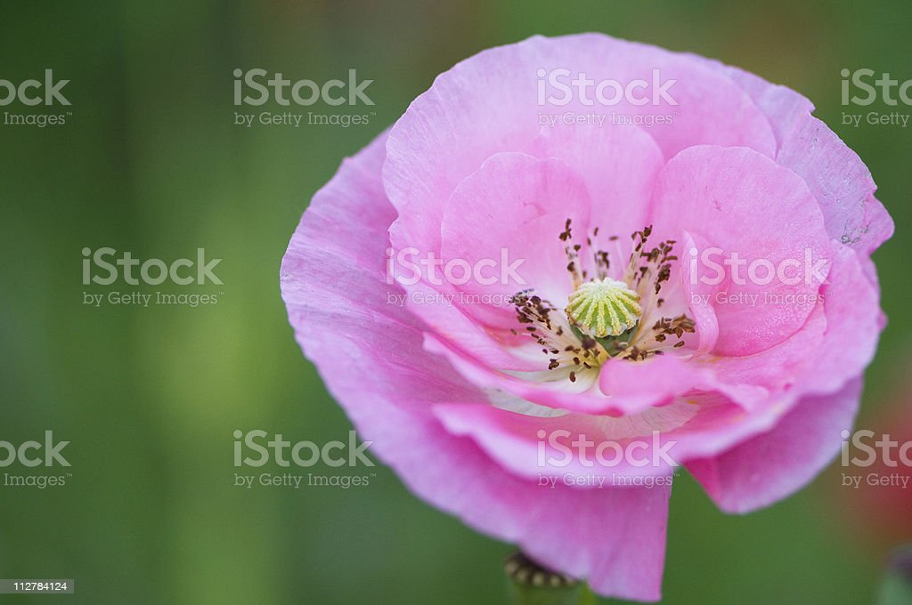 Pink poppy stock photo