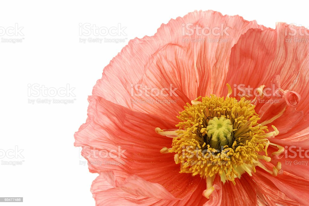 Pink Poppy royalty-free stock photo