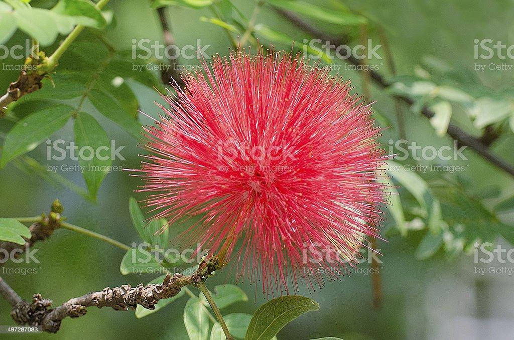 Pink Powder Puff, also known as Calliandra haematocephala stock photo