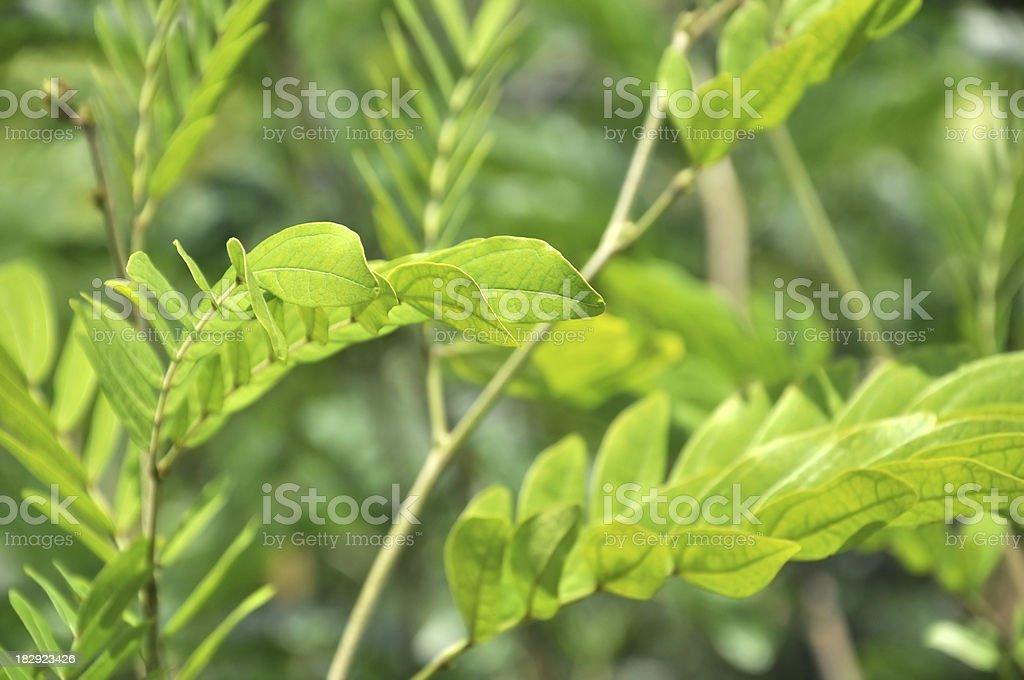Pink Powder Puff / Calliandra Haematocephala / Mimosaceae stock photo