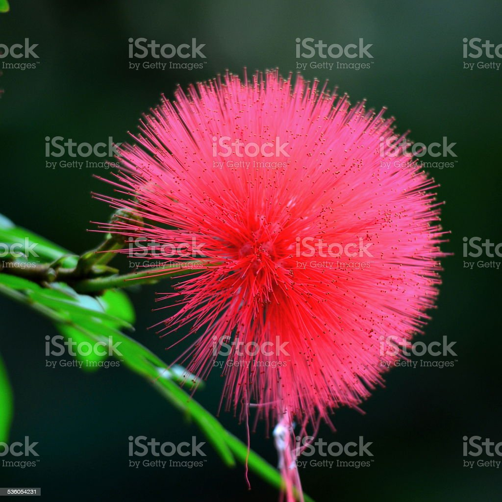 Pink Powder Puff flower stock photo