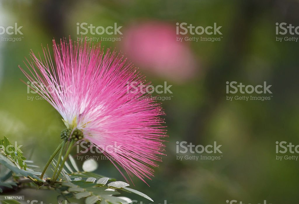 Pink powderpuff blooming stock photo