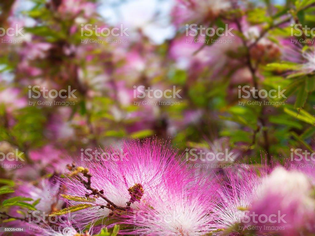Pink powderpuff flower blooming like dream stock photo