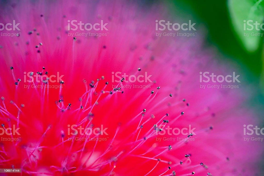 Pink Powderpuff Macro stock photo