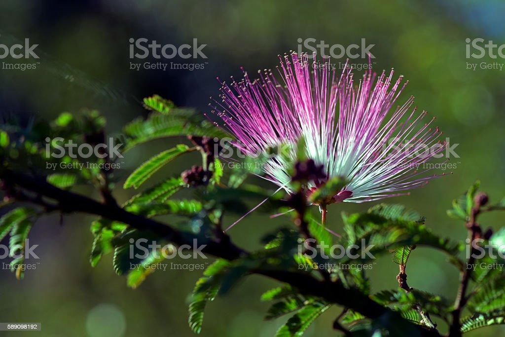 Pink powderpuff or Calliandra brevipes stock photo