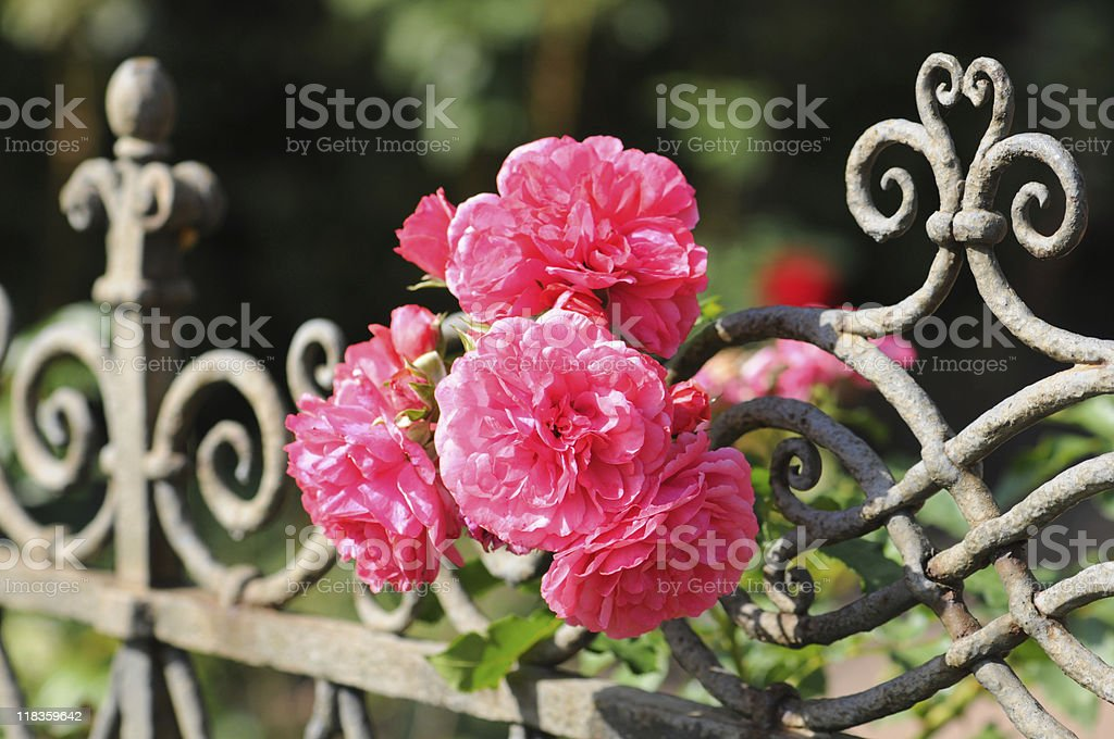 pink Prickly Rose on a fence royalty-free stock photo