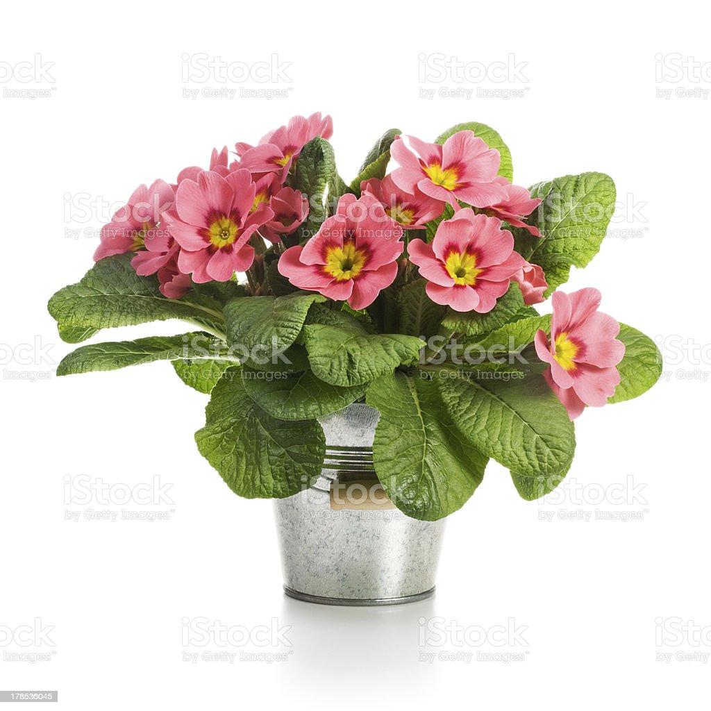 Pink Primroses stock photo