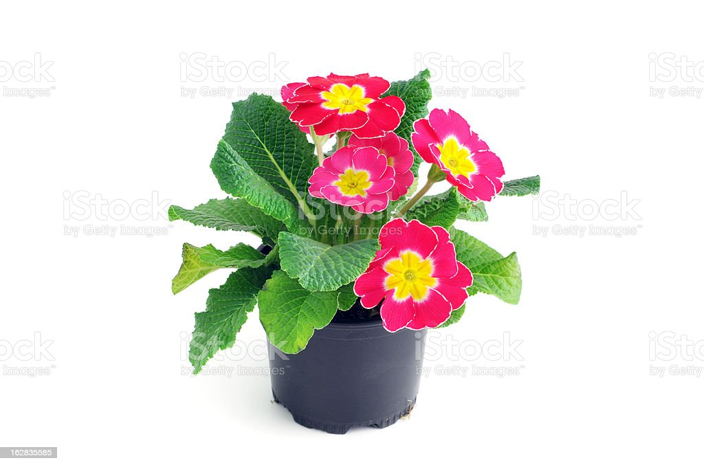 pink Primula Primrose (Temperate Flower) isolated white background stock photo