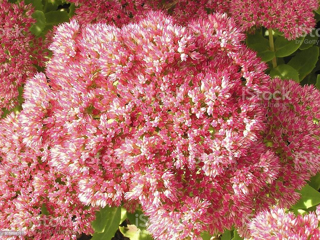 Pink Profusion royalty-free stock photo