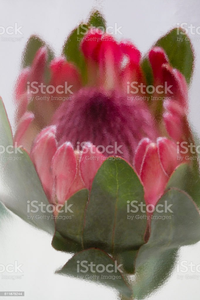 Pink Protea flower stock photo
