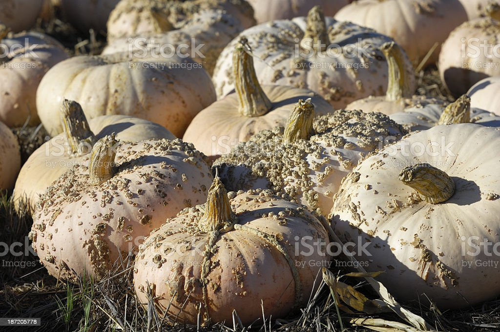 Pink Pumpkins For Sale on a Rural Farm royalty-free stock photo