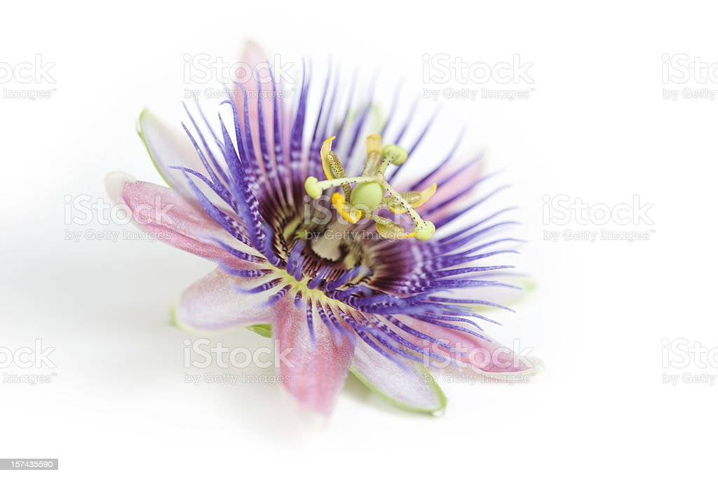 A pink, purple and white Passion flower stock photo