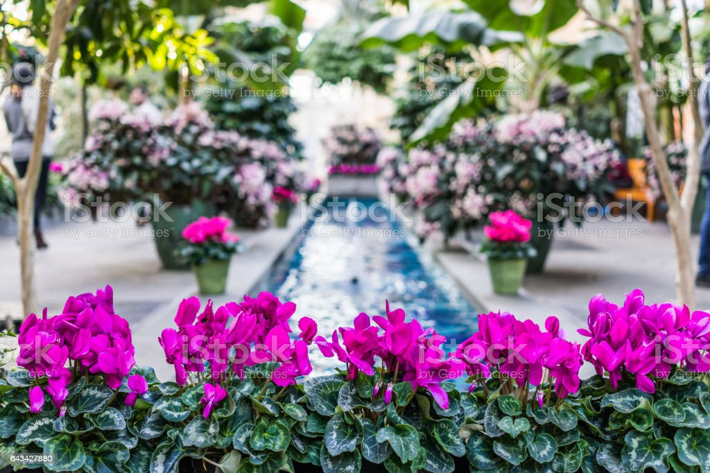 Pink purple cyclamen flowers with fountain in center stock photo