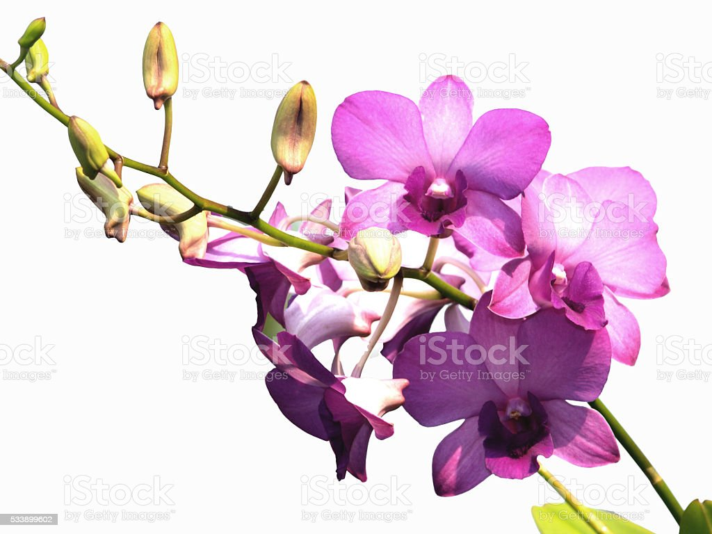 pink purple dendrobium orchid flower on white background stock photo