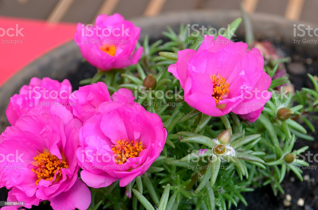 Pink Purslane flower, succulent stock photo