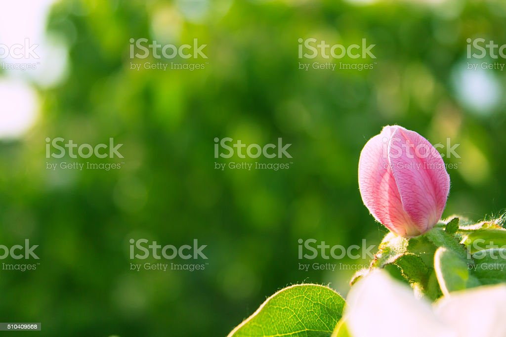 Pink quince flower blooming around leaves in sunlight stock photo