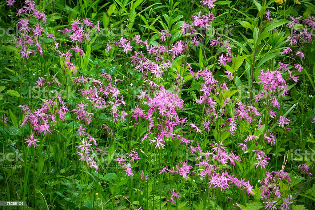 Pink ragged robin flowers, White Memorial, Litchfield, Connectic stock photo