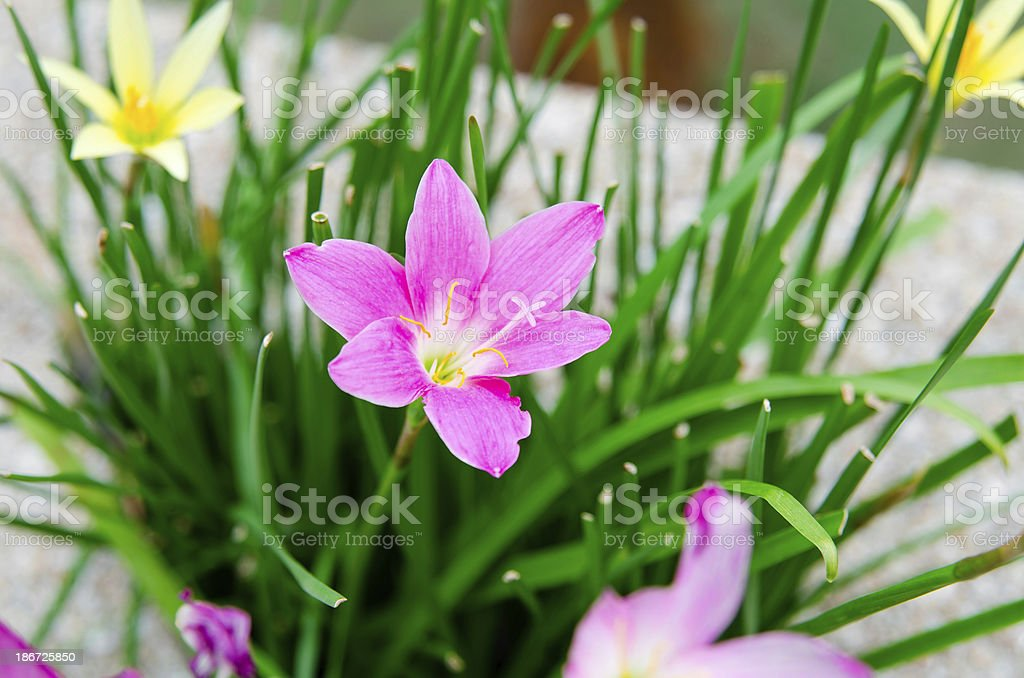 pink rain lilly flower in garden stock photo