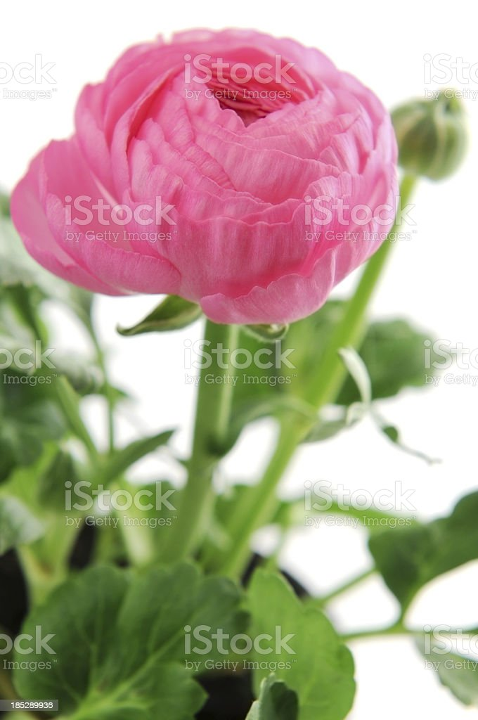 pink ranunculus buttercup flowers on white background stock photo