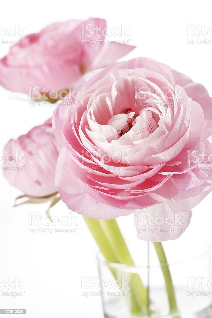 pink Ranunculus royalty-free stock photo