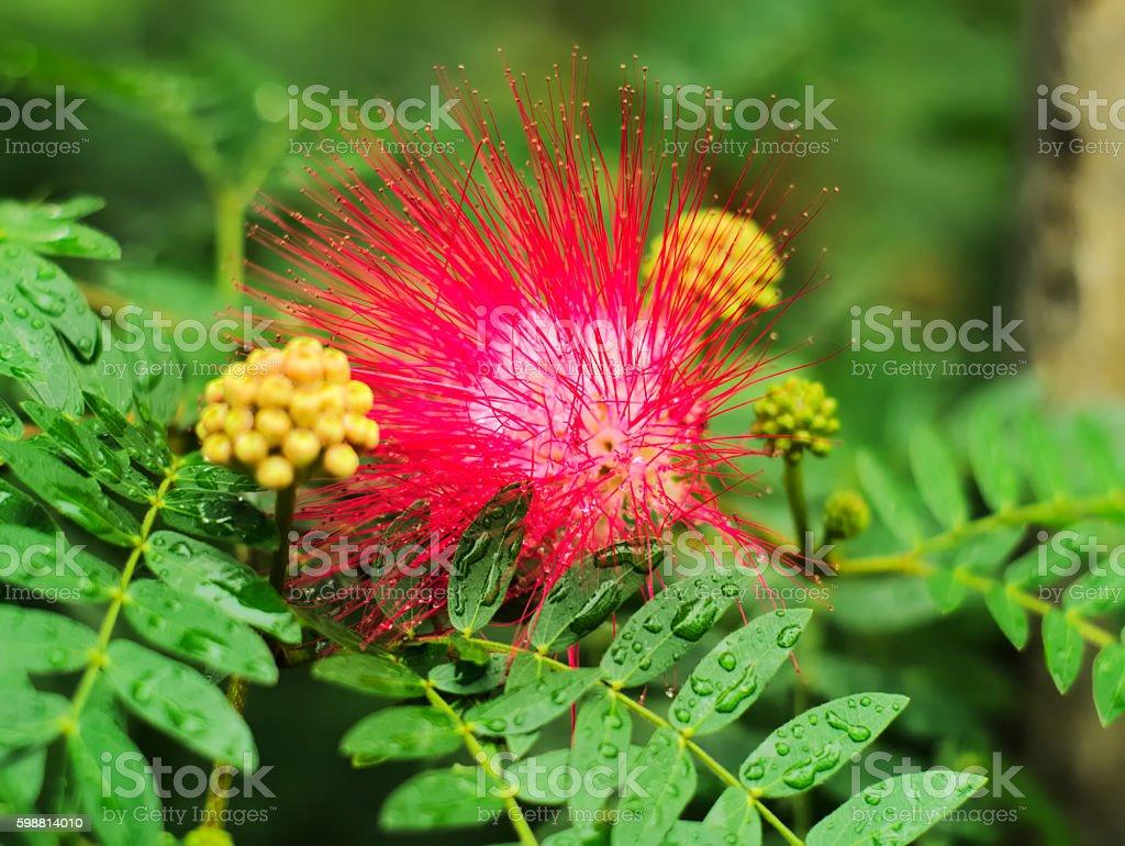 Pink red powder puff or Calliandra Haematocephala Hassk stock photo