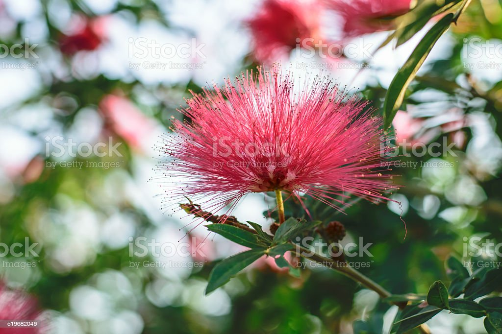 Pink Red Powder Puff stock photo